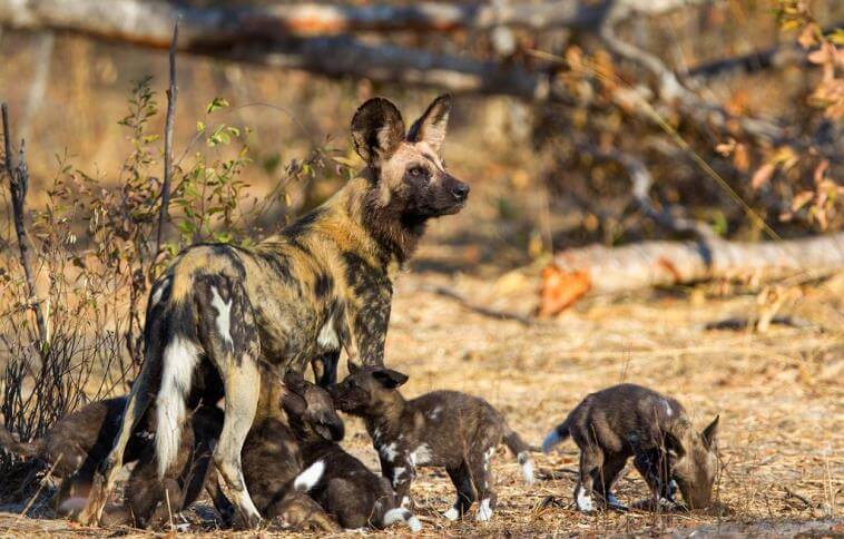 Becoming One With Painted Wolves