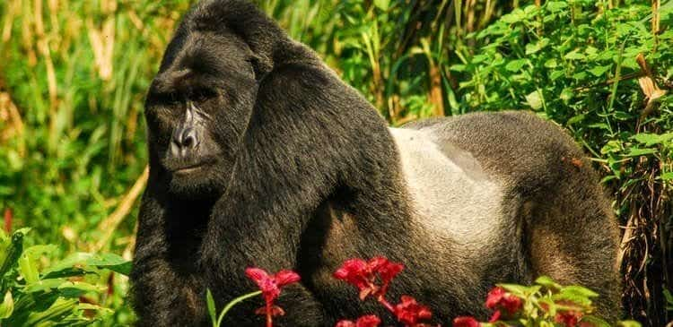 Experience Uganda's Gorillas in the Mist in a New Way