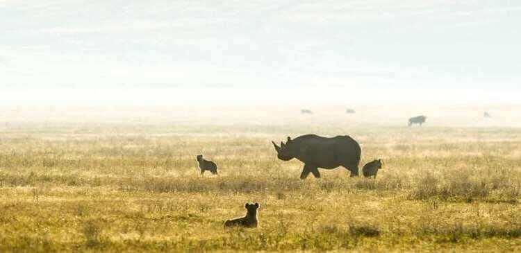 Reintroduction of the Black Rhino In Rwanda